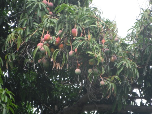 bunches-of-mangos