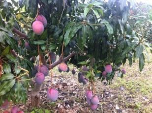 sweet-spirit-mango